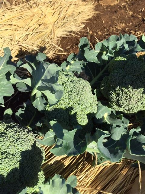 今日で畑仕事納めです ブロッコリー 小松菜 菜の花 カーヴォロネーロ レタス ルッコラを中心に収穫です_c0222448_14534529.jpg