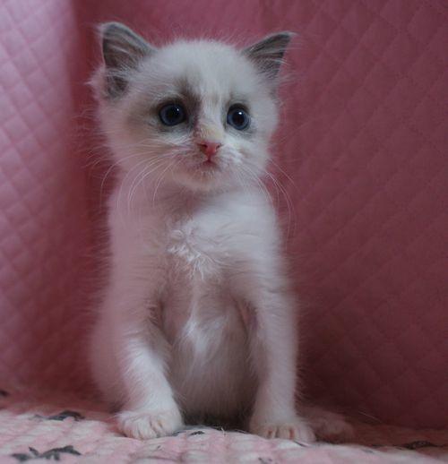 ラグドール子猫家族募集 11月7日生まれブルーポイントバイカラー坊や&12月27日出産情報_e0033609_19181003.jpg