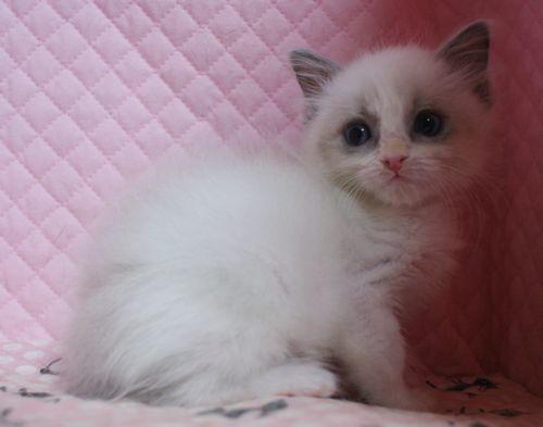 ラグドール子猫家族募集 11月7日生まれブルーポイントバイカラー坊や&12月27日出産情報_e0033609_19183364.jpg