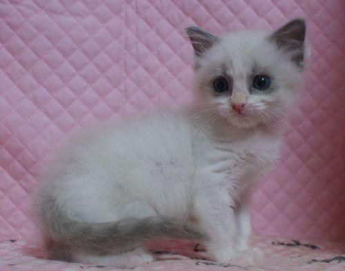 ラグドール子猫家族募集 11月7日生まれブルーポイントバイカラー坊や&12月27日出産情報_e0033609_19185604.jpg