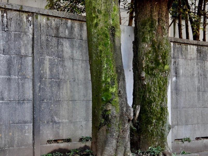 塀際の樹_c0156717_09385529.jpg
