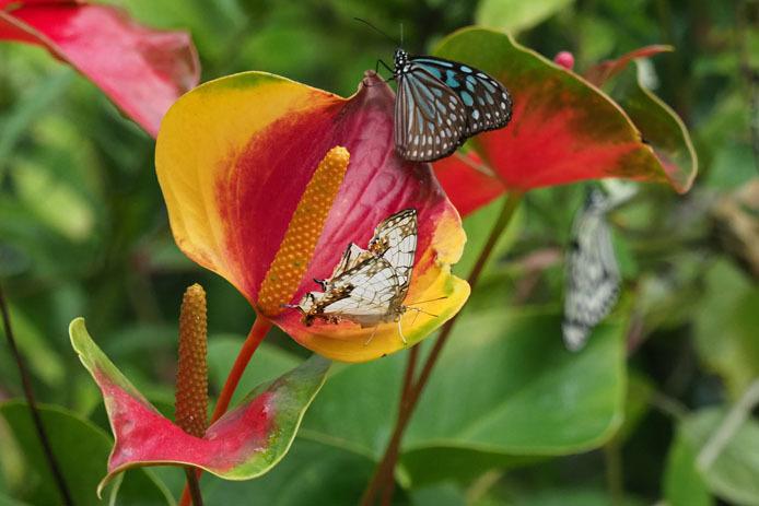 イシガキチョウと南国の赤い花_d0149245_21301637.jpg