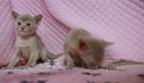 アビシニアン子猫 フォーン姉妹 12/6生まれ_e0033609_18580129.jpg
