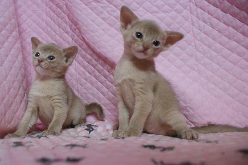 アビシニアン子猫 フォーン姉妹 12/6生まれ_e0033609_18581323.jpg