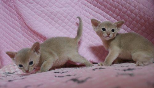 アビシニアン子猫 フォーン姉妹 12/6生まれ_e0033609_18582322.jpg