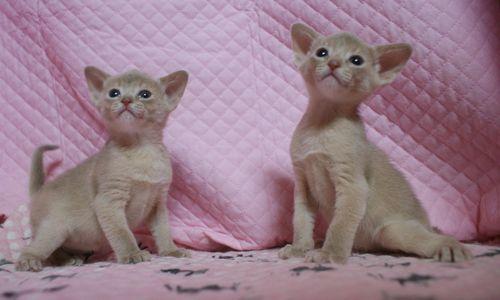アビシニアン子猫 フォーン姉妹 12/6生まれ_e0033609_18583618.jpg