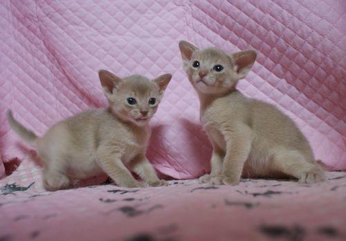 アビシニアン子猫 フォーン姉妹 12/6生まれ_e0033609_18584856.jpg