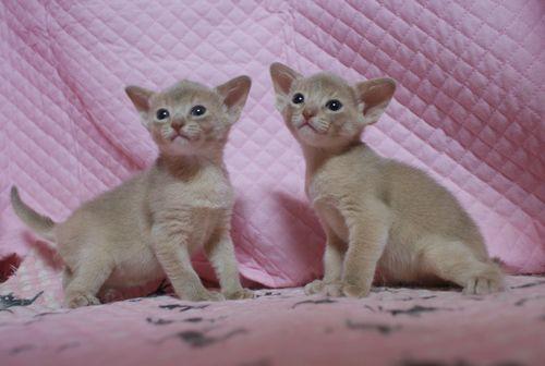 アビシニアン子猫 フォーン姉妹 12/6生まれ_e0033609_18590129.jpg
