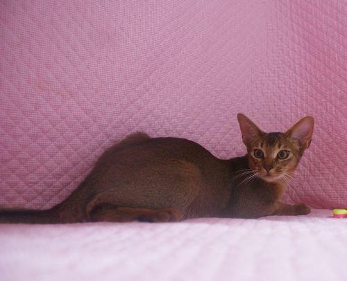 アビシニアン子猫 フォーン姉妹 12/6生まれ_e0033609_19023186.jpg