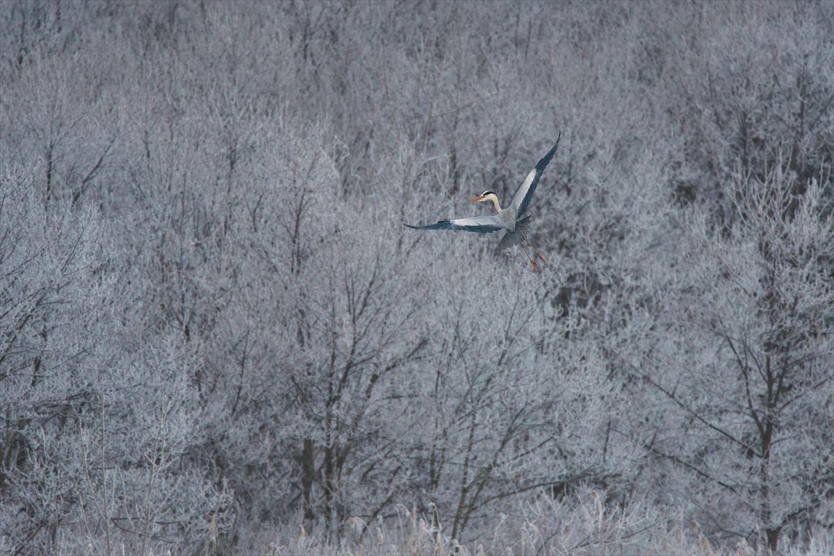 アオサギ、霧氷に舞う_a0145819_1326079.jpg
