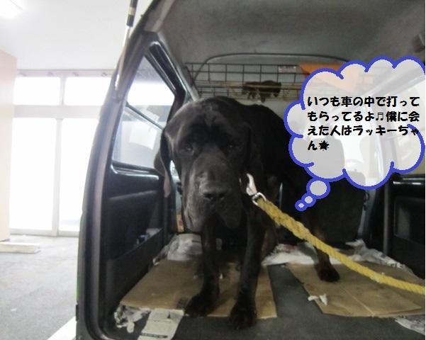 【土佐犬のチャコちゃん足の腫れみるみるよくなる】_b0059154_10433565.jpg