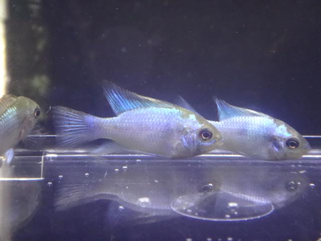 170105 熱帯魚・金魚・淡水魚・水草_f0189122_1312425.jpg