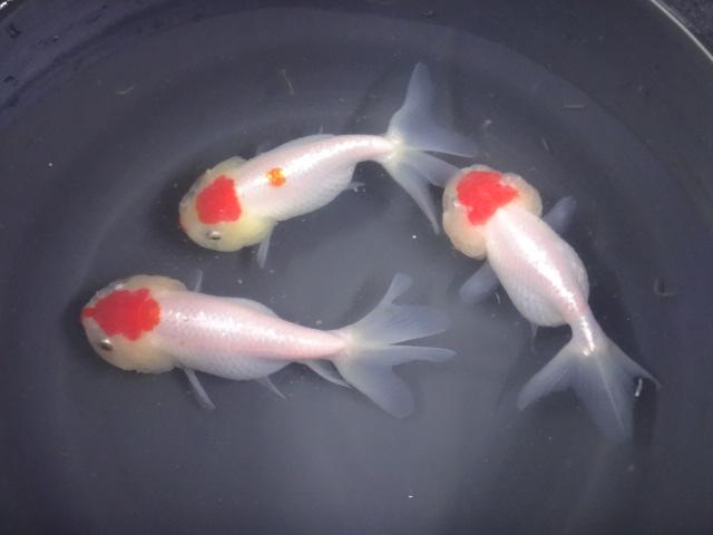 170105 熱帯魚・金魚・淡水魚・水草_f0189122_1353721.jpg