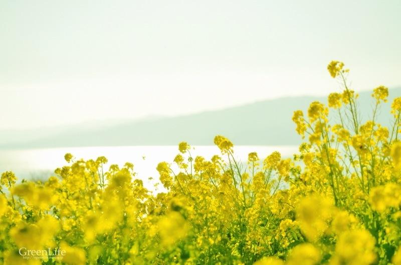 菜の花と富士_f0321522_12013158.jpg