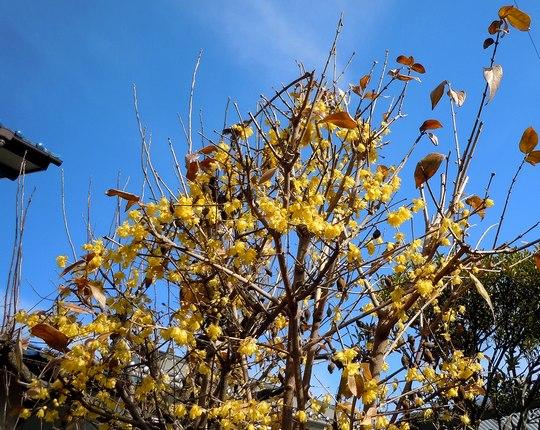 路傍の花、樹々の鳥(139) ~ もう臘梅が・・ ~ _b0102572_1321312.jpg
