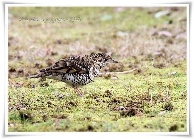 トラツグミ(ぬえどり)は寂しい鳴き声をたてる鳥_b0346933_05240319.jpg