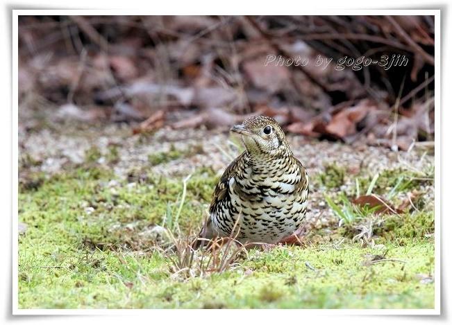 トラツグミ(ぬえどり)は寂しい鳴き声をたてる鳥_b0346933_05241571.jpg