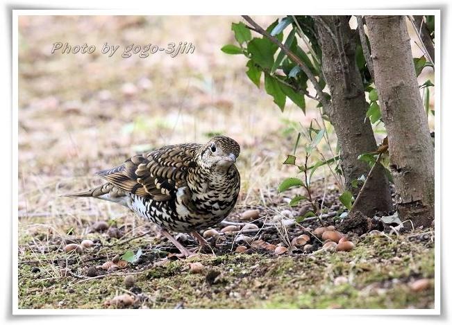 トラツグミ(ぬえどり)は寂しい鳴き声をたてる鳥_b0346933_05242427.jpg