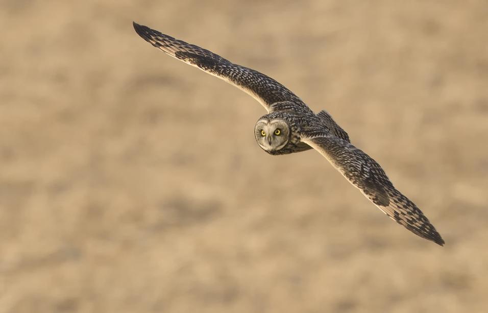 新年最初の探鳥はクビワキンクロとコミミズク_c0042548_12143155.jpg