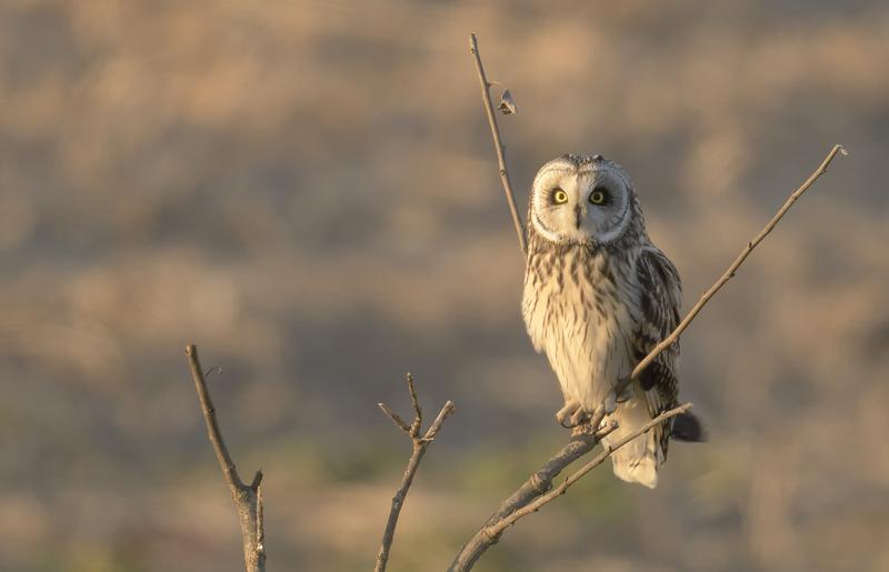 新年最初の探鳥はクビワキンクロとコミミズク_c0042548_12174518.jpg