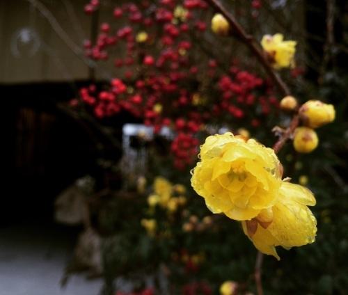 蝋梅が咲き始めましたよ〜_e0251361_16320486.jpg