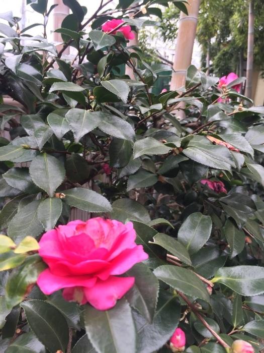凛と咲く   侘助の花🌸  寒さを癒してくれてます。              ふじみ野㊗️お祝い席    一味亭_f0156675_12365100.jpg