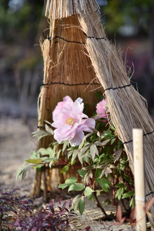 徳川園の松飾りと冬牡丹_e0170058_19065156.jpg