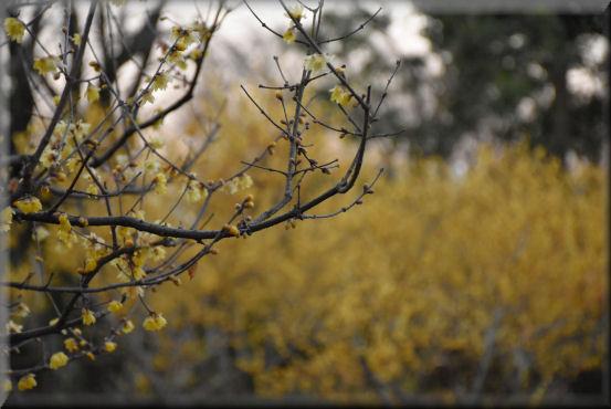 蝋梅の公園_f0363141_8404252.jpg
