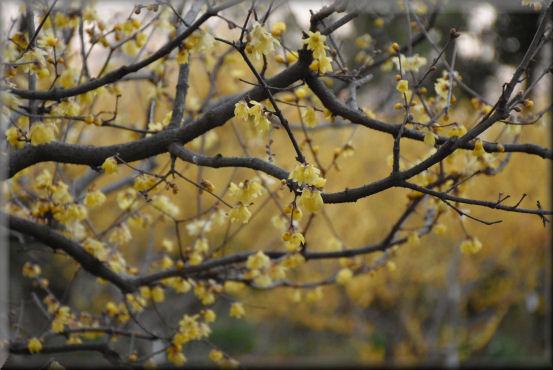 蝋梅の公園_f0363141_8405632.jpg