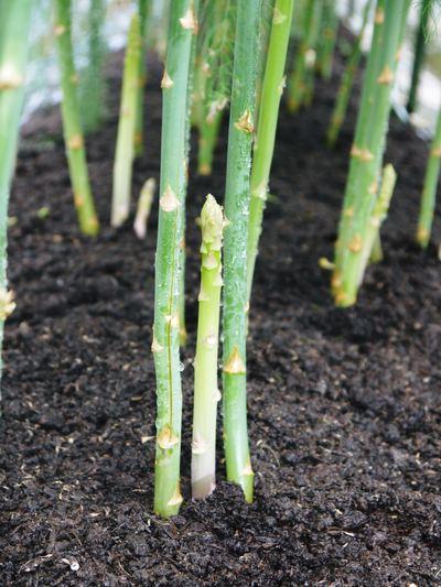 「なごみの里の朝採り『グリーンアスパラ』」 不要な葉っぱや種を焼き払って元気なアスパラを育てます!_a0254656_17483796.jpg
