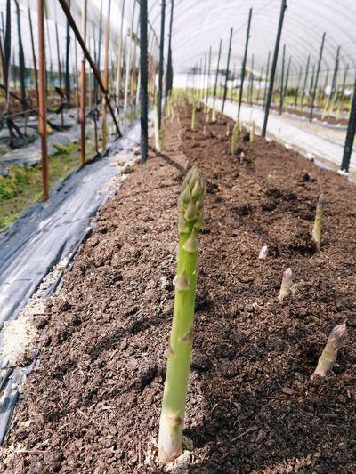 「なごみの里の朝採り『グリーンアスパラ』」 不要な葉っぱや種を焼き払って元気なアスパラを育てます!_a0254656_17581315.jpg