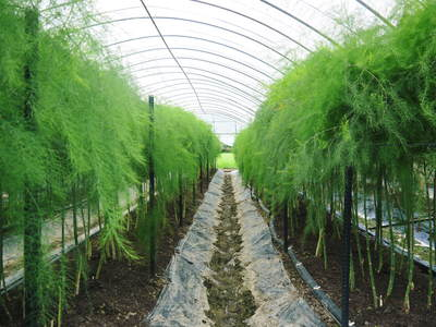 「なごみの里の朝採り『グリーンアスパラ』」 不要な葉っぱや種を焼き払って元気なアスパラを育てます!_a0254656_1802426.jpg