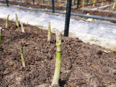 「なごみの里の朝採り『グリーンアスパラ』」 不要な葉っぱや種を焼き払って元気なアスパラを育てます!_a0254656_1840264.jpg