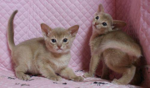 アビシニアン子猫 フォーン姉妹 12/6生まれ _e0033609_00303117.jpg