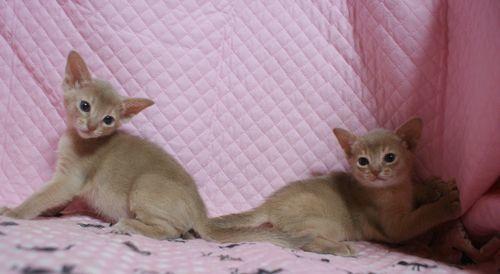 アビシニアン子猫 フォーン姉妹 12/6生まれ _e0033609_00304795.jpg