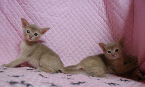 アビシニアン子猫 フォーン姉妹 12/6生まれ _e0033609_00305931.jpg