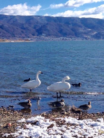 白鳥来たー_e0092612_10592455.jpg