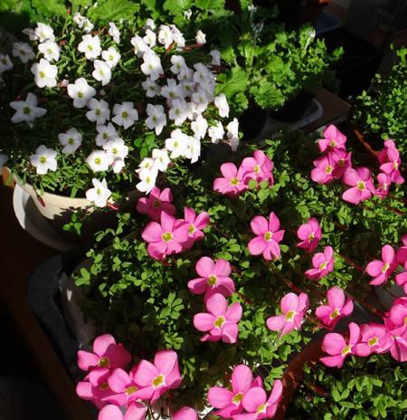 ポカポカ陽気の猫部屋でオキザリスが開花♪_a0136293_17332798.jpg
