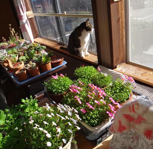 ポカポカ陽気の猫部屋でオキザリスが開花♪_a0136293_17364826.jpg