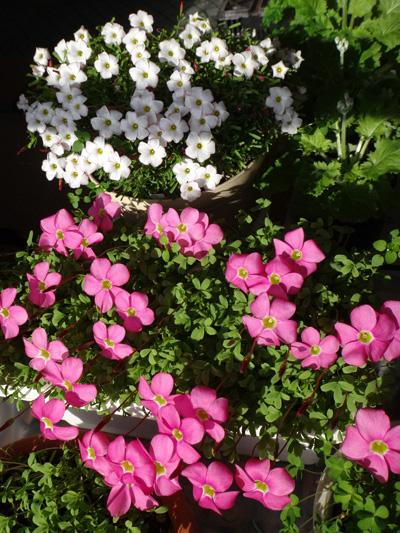 ポカポカ陽気の猫部屋でオキザリスが開花♪_a0136293_17431981.jpg