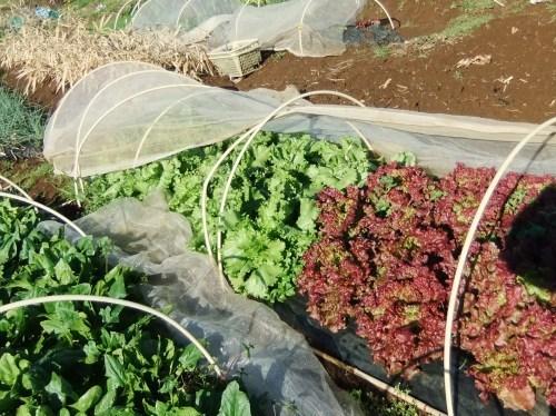 菜園は..レタス祭り.._b0137932_00033991.jpg