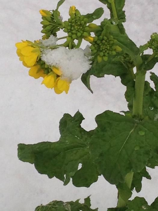 雪の中で春の準備_f0155431_20585407.jpg