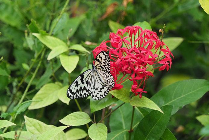 日本で一番大きい蝶_d0149245_17455062.jpg