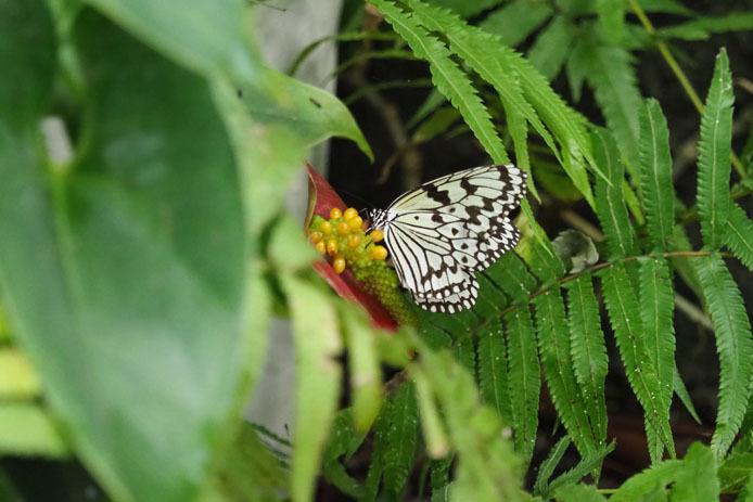 日本で一番大きい蝶_d0149245_17455563.jpg
