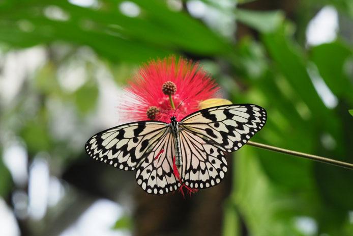 日本で一番大きい蝶_d0149245_17455987.jpg