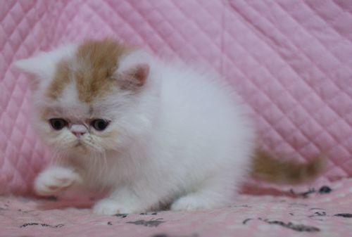 エキゾチックショートヘアー 子猫家族募集_e0033609_19361347.jpg