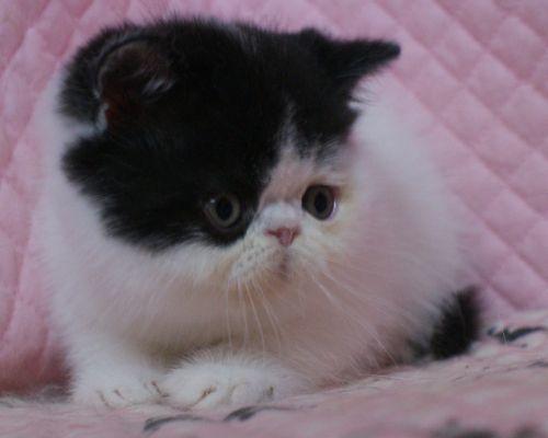 エキゾチックショートヘアー 子猫家族募集_e0033609_19362803.jpg