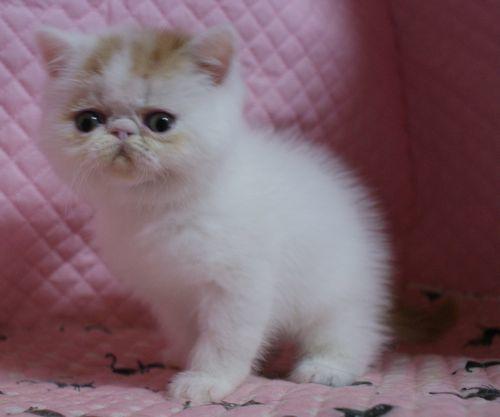 エキゾチックショートヘアー 子猫家族募集_e0033609_19370409.jpg