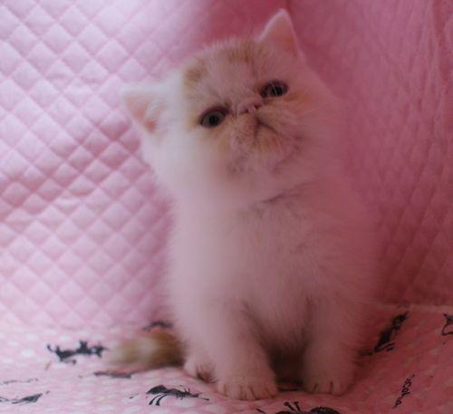 エキゾチックショートヘアー 子猫家族募集_e0033609_19373835.jpg