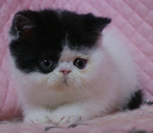 エキゾチックショートヘアー 子猫家族募集_e0033609_19392363.jpg